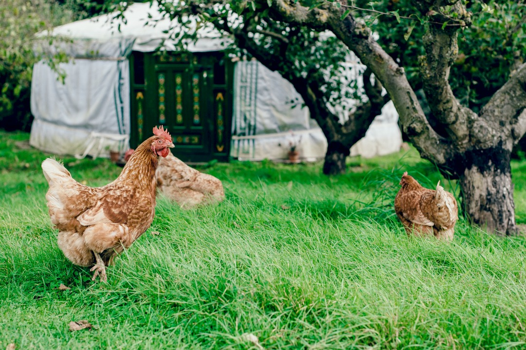 Pasture-raised hens.